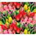 Обои Milan (Голландские тюльпаны), M 3159, 300x270 см